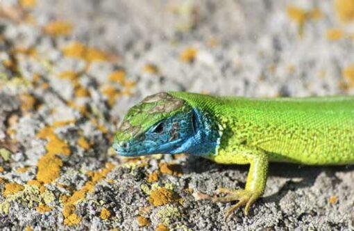 ein Jahr Iguana